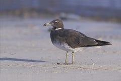 Sooty gull, Larus hemprichii. Single bird by water, Oman Royalty Free Stock Image