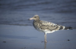 Sooty gull, Larus hemprichii Royalty Free Stock Images