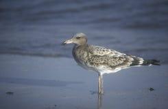 Sooty gull, Larus hemprichii. Single juvenile bird by water, Oman Royalty Free Stock Images