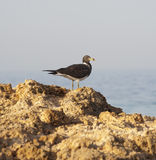 Sooty gull perched on rocks Stock Photography