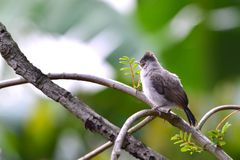 Sooty headed Bulbul. On branch Royalty Free Stock Photography