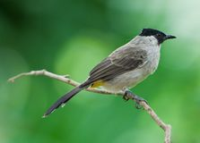 Sooty-headed Bulbul Stock Image