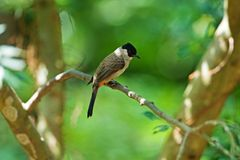 Sooty-headed Bulbul Stock Photo