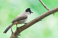Sooty-headed Bulbul. Is residental bird in Thailand Royalty Free Stock Photography