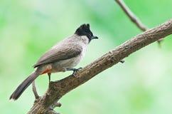 Sooty-headed Bulbul. Is residental bird in Thailand royalty free stock photography