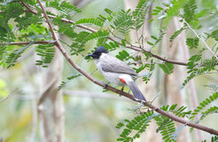 Sooty-headed bulbul Stock Photos