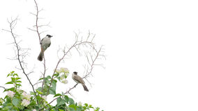 Sooty-headed bulbul as background isolate on white Stock Photo