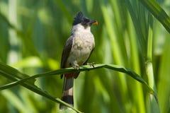 Sooty-headed Bulbul bird. Sooty-headed Bulbul foraging on the Thatch Royalty Free Stock Photo