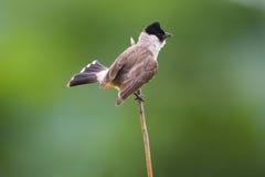 Sooty-headed Bulbul bird. Sooty-headed Bulbul foraging on the Thatch royalty free stock image