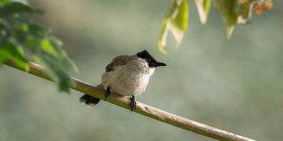 Sooty-headed Bulbul. A bird is living on the tree in garden Stock Photo