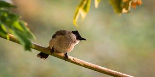Sooty-headed Bulbul. A bird is living on the tree in garden Stock Photos