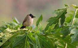 Sooty-headed Bulbul. The bird living on the tree in  papaya garden Stock Image