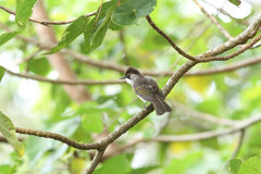 Sooty-headed Bulbul. Bird in nature perching on a branch stock images