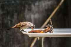 The Sooty-headed Bulbul bird. (Pycnonotus aurigaster) eating banana royalty free stock photography