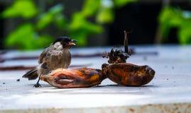 The Sooty-headed Bulbul bird. (Pycnonotus aurigaster) eating banana Stock Photo