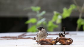 The Sooty-headed Bulbul bird Royalty Free Stock Photography
