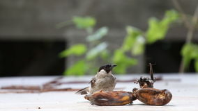 The Sooty-headed Bulbul bird stock footage