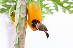 The Sooty-headed Bulbul bird Royalty Free Stock Images