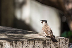 The Sooty-headed Bulbul bird Stock Images