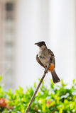 The Sooty-headed Bulbul bird Royalty Free Stock Photo