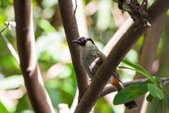 The Sooty-headed Bulbul bird Stock Photography