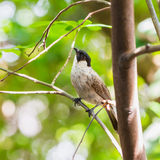 The Sooty-headed Bulbul bird. The Sooty-headed Bulbul (Pycnonotus aurigaster) bird resting on the stem in nature Royalty Free Stock Images