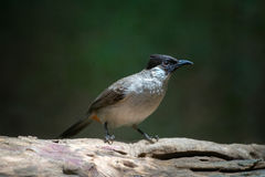 Sooty-headed bulbul bird in thailand. Take photo from reflex lens stock image