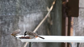 The Sooty-headed Bulbul birds Royalty Free Stock Photography
