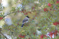 Sooty-headed Bulbul. L enjoy food in the morning at north of thailand Royalty Free Stock Images