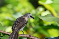 Sooty-headed Bulbul are gray white blac royalty free stock photography