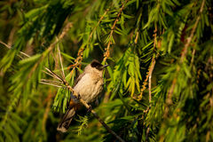 Sooty-headed Bulbul Stock Images