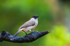 Sooty-headed bulbul or Pycnonotus aurigaster. Stock Photo