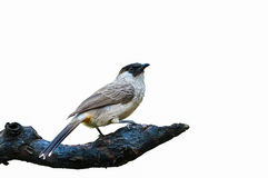 Sooty-headed bulbul or Pycnonotus aurigaster. Royalty Free Stock Image