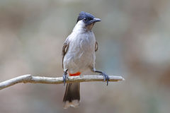 Sooty-headed bulbul Pycnonotus aurigaster Beautiful Birds of Thailand Royalty Free Stock Images