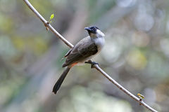 Sooty-headed bulbul Pycnonotus aurigaster Beautiful Birds of Thailand Royalty Free Stock Photos