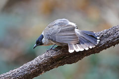 Sooty-headed bulbul Pycnonotus aurigaster Beautiful Birds of Thailand Stock Images