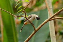 Sooty-headed Bulbul (Pycnonotus aurigaster). Beautiful Sooty-headed Bulbul (Pycnonotus aurigaster) resting in branch Stock Photos