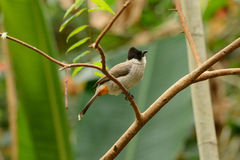 Sooty-headed Bulbul (Pycnonotus aurigaster) Stock Images