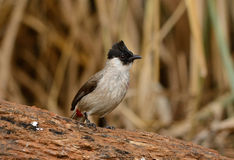Sooty-headed Bulbul (Pycnonotus aurigaster). Beautiful Sooty-headed Bulbul (Pycnonotus aurigaster) resting in branch Stock Photography