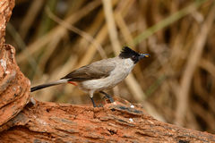 Sooty-headed Bulbul (Pycnonotus aurigaster) Royalty Free Stock Photography