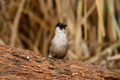 Sooty-headed Bulbul (Pycnonotus aurigaster) Stock Photography