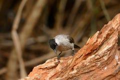 Sooty-headed Bulbul (Pycnonotus aurigaster) Stock Photos