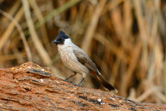 Sooty-headed Bulbul (Pycnonotus aurigaster) Royalty Free Stock Images