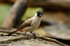 Sooty-headed Bulbul (Pycnonotus aurigaster). Beautiful Sooty-headed Bulbul (Pycnonotus aurigaster) resting in branch Stock Image