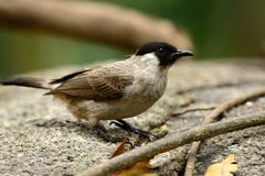 Sooty-headed Bulbul (Pycnonotus aurigaster) Royalty Free Stock Image