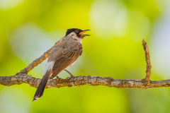 Sooty-headed bulbul(Pycnonotus aurigaster). In nature at Khao Yai National Park,Thailand Royalty Free Stock Photos