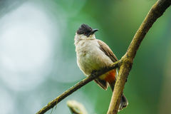 Sooty-headed bulbul. (Pycnonotus aurigaster) in nature of Thailand stock photography