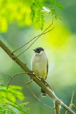 Sooty-headed bulbul Royalty Free Stock Image