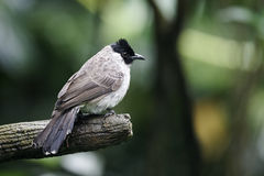 Sooty-headed bulbul,Pycnonotus aurigaster Stock Photo