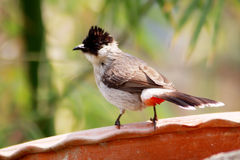 Sooty-headed bulbul. The Sooty-headed Bulbul (Pycnonotus aurigaster) is a species of songbird in the Pycnonotidae family. It is found in Cambodia, China, Hong Royalty Free Stock Photography